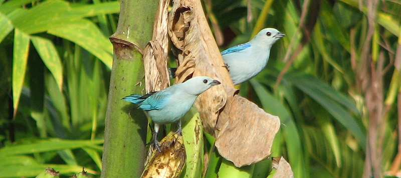 BlueGray Tanagers